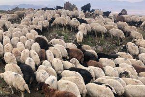 koyun adaklıklar